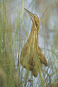 american bittern photos facts and identification tips