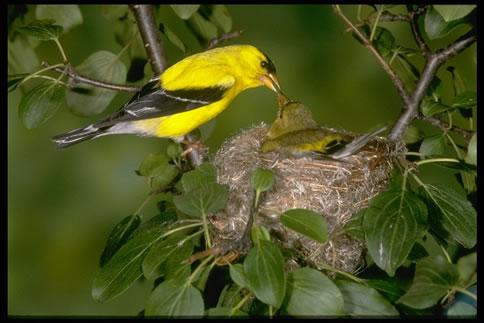 american goldfinch nest - photo #4