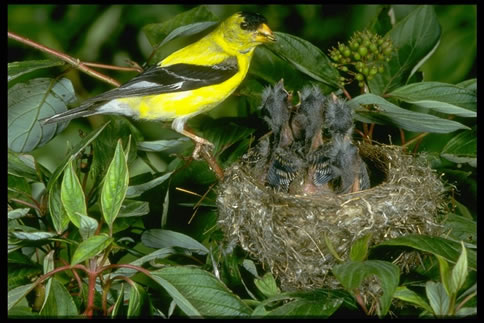 Latest Nature Picture on Photo Of American Goldfinch With Young