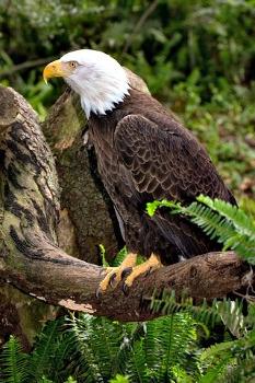 New England Birds Of Prey Hawks Eagles Owls Other Raptors
