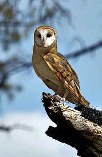 Barn Owl Photos Facts And Identification Tips