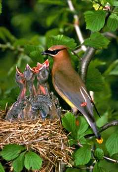 Cedar Waxwing Photos Facts And Identification Tips