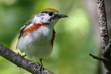 Chestnut-sided Warbler - Breeding Female