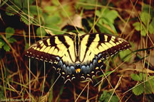Female Tiger Swallowtail