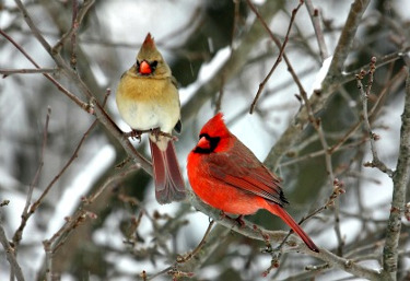Image result for northern cardinal