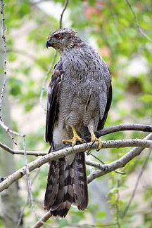 New England Hawks Eagles Photos Facts And Identification Tips