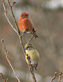 Male and Female Red Crossbill