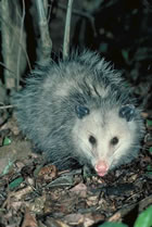 Virginia Opossum (Didelphis virginiana)