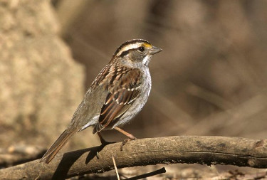White-throated Sparrow, Tan-striped Form