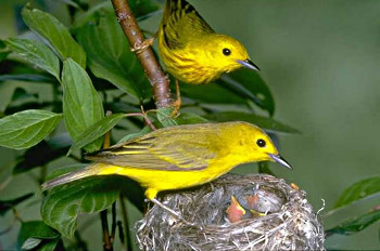 Yellow Warblers at Nest