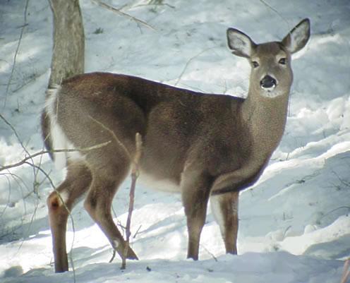 whitetail doe in winter